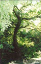 \(Moseley Bog 1999. The old crooked tree.\)